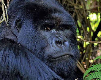 4 Days with 2 gorilla trekking trips in Rwanda. Safari also offers a Kigali city tour